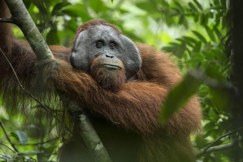 Orangutan Kalimantan. (Foto: Tim Laman/Getty Images)